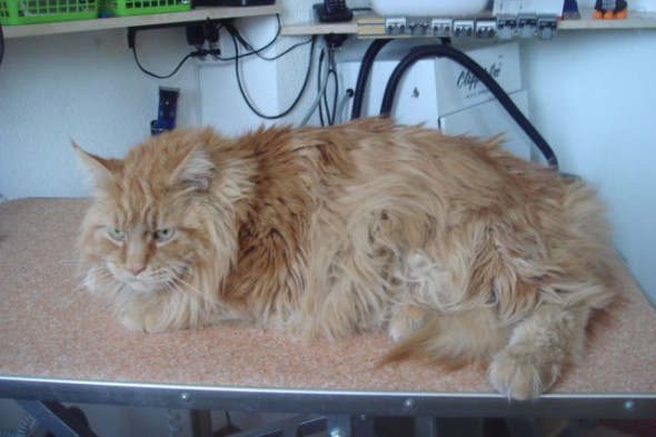 Maine Coon Poly dactyl Scooby